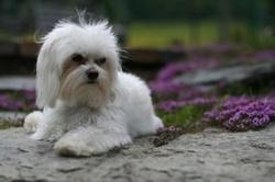 Vanille, chien Bichon maltais