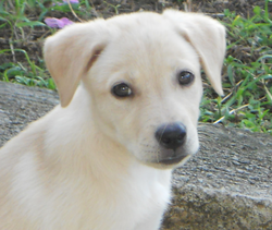 Vanille, chien Labrador Retriever