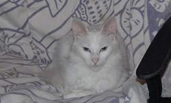Vanille, chat Angora turc