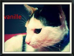 Vanille, chat Gouttière