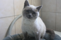 Vanille, chat Siamois