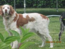 Vanille, chien Épagneul breton