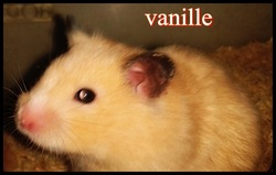 Vanille, rongeur Hamster