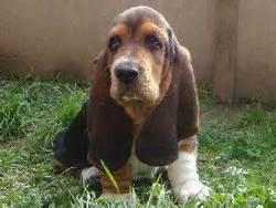 Vanille, chien Basset Hound