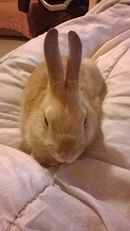 Vanille, rongeur Lapin
