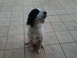 Vanille, chien Setter anglais