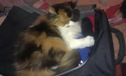 Vanille, chat Persan