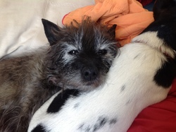 Vanille, chien Cairn Terrier