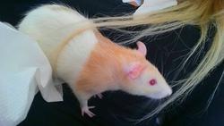 Vanille, rongeur Rat