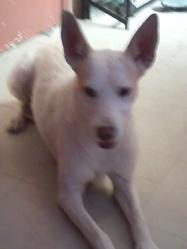 Vanille, chien Podenco portugais