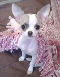 Vanille, chien Chihuahua