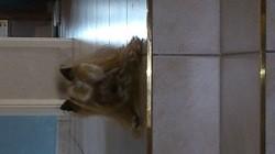 Vanille, chien Yorkshire Terrier