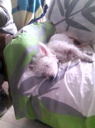 Vanille, chien West Highland White Terrier