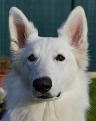 Vanille, chien Berger blanc suisse