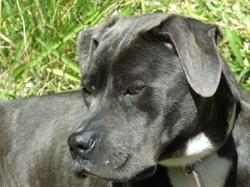Vanille, chien Cane Corso