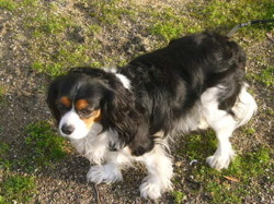 Vanille, chien Cavalier King Charles Spaniel