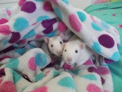 Vanille Et Blanche, rongeur Rat