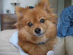 Vanina, chien Spitz allemand