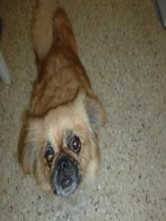 Vanina, chien Épagneul tibétain