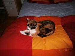 Vanina, chat Européen