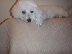 Vanille, chien Bichon à poil frisé