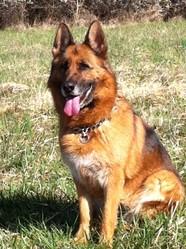 Vany, chien Berger allemand