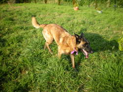 Varak, chien Berger belge