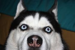 Varg, chien Husky sibérien