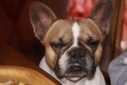Varga, chien Bouledogue français