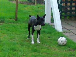 Varko, chien American Staffordshire Terrier