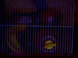 Vas, rongeur Hamster