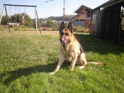 Vasco, chien Berger allemand