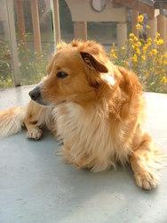 Vasco, chien Épagneul français