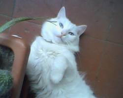 Vasco, chat Angora turc