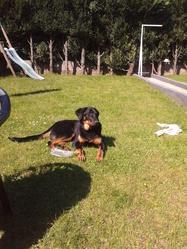 Vasco, chien Beauceron
