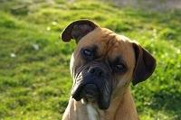 Vasco, chien Boxer