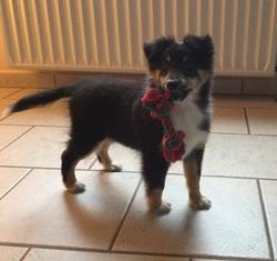 Vasco, chien Berger des Shetland