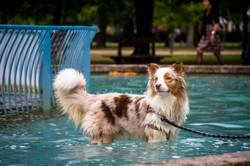 Isiwun' Vasko, chien Berger australien