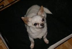 Vaslo, chien Chihuahua