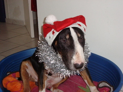 Vaudou, chien Bull Terrier