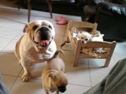 Vaya Con Dios, chien Bulldog