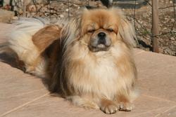 Véddas, chien Épagneul tibétain