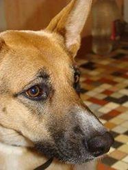 Vega, chien Berger allemand