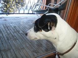 Vega, chien Jack Russell Terrier