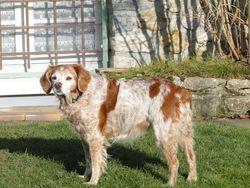 Véga, chien Épagneul breton