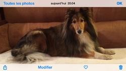 Véga, chien Berger des Shetland