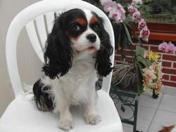 Végane, chien Cavalier King Charles Spaniel