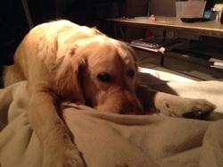 Vegas, chien Golden Retriever