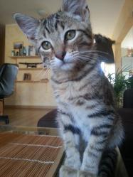 Vegas, chat Gouttière