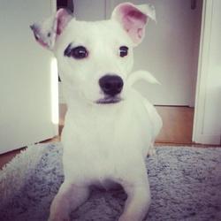 Vegas, chien Jack Russell Terrier